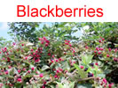 Blackberries in Millwood, WV