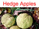 Hedge Apples in Millwood, WV